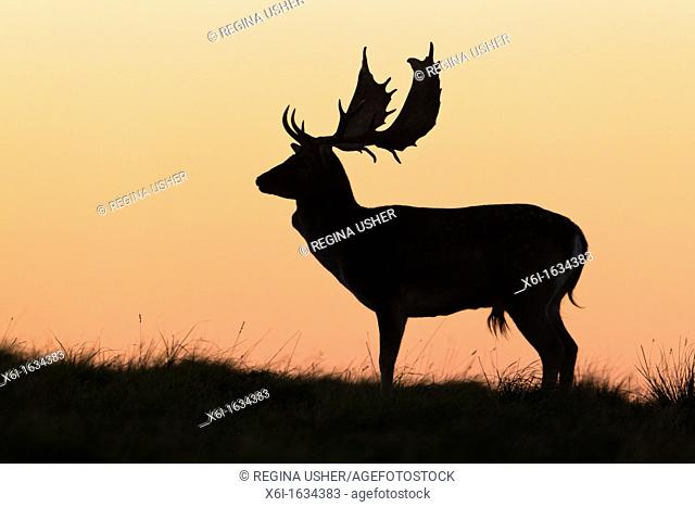 Fallow Deer Dama dama, Buck standing on Horizon at Dusk, during the Rut, Royal Deer Park, Klampenborg, Copenhagen, Sjaelland, Denmark