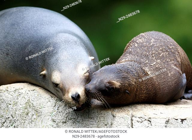Californian Sea Lions (Zalophus californianus), captive, Germany, adult with cub