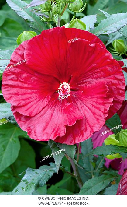 HIBISCUS MOSCEUTOS 'CRANBERRY CRUSH'