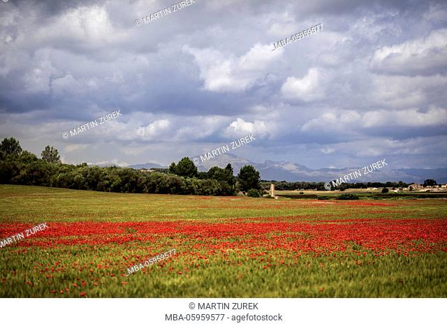 Spain, the Balearic Islands, Island of Mallorca, center of the island, poppy field
