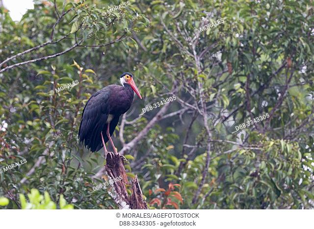 Asia, Indonesia, Borneo, Tanjung Puting National Park, Storm's stork (Ciconia stormi)