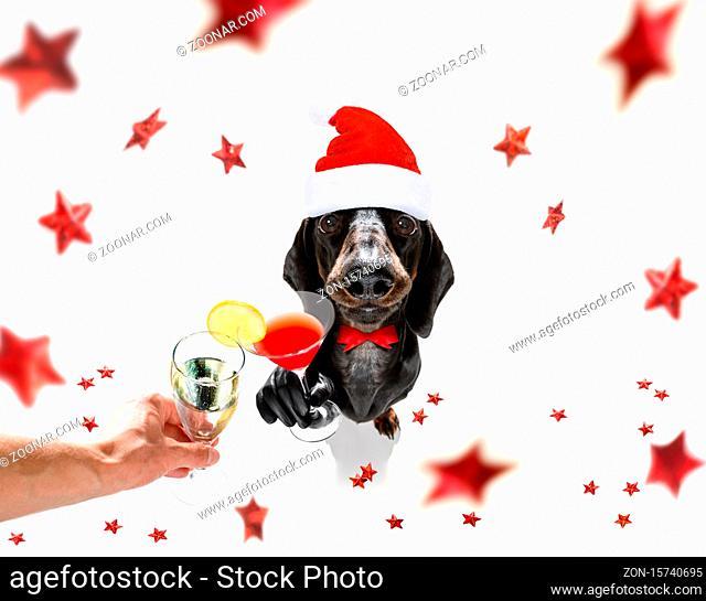 dacshhund dog celebrating new years eve with owner , isolated on fallimng christmas stars, cheers