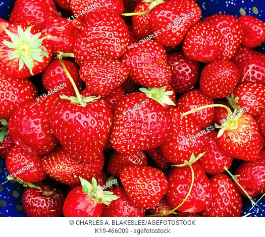 Strawberries in a colander. Anacortes. Skagit County. Washington. USA