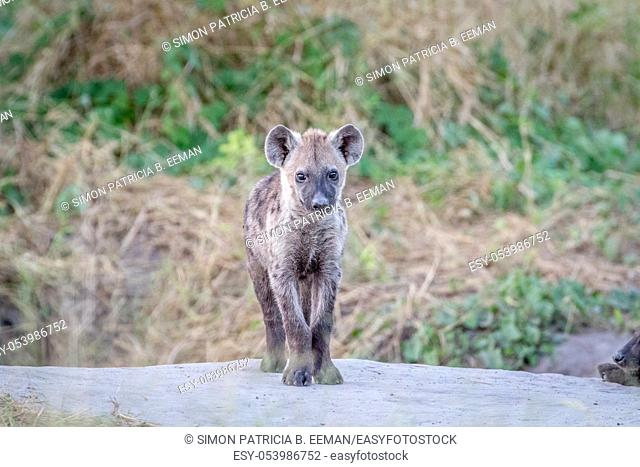 Young Spotted hyena starring at the camera in the Chobe National Park, Botswana