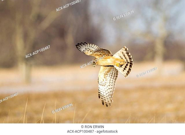 Female Northern Harrier (Circus cyaneus) hunting for prey on Wolfe Island, Ontario, Canada