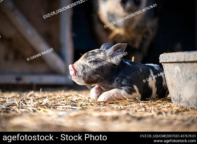 Brown, black and white piglets playing