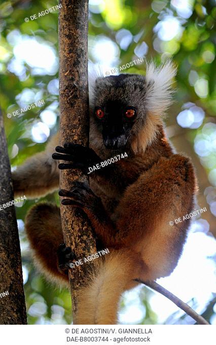 Female Black lemur (Eulemur macaco), Lemuridae, Nosy Komba island forest, Madagascar