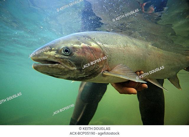 Steelhead prior to release, Bulkley river, British Columbia, Canada