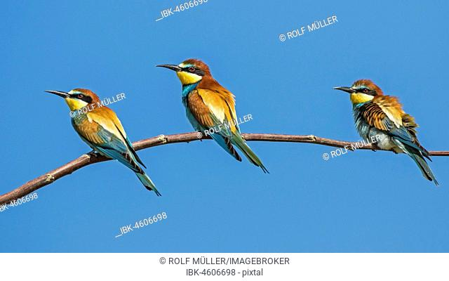 Bee-eater (Merops apiaster) group at Ansitzast, Biosphere Reserve Danube Delta, Dobruja, Romania
