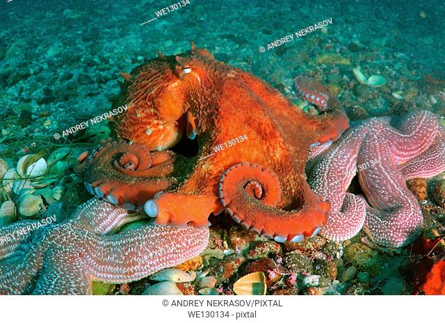 Giant Pacific octopus or North Pacific giant octopus, (Enteroctopus dofleini). Japan sea, Far East, Primorsky Krai, Russia