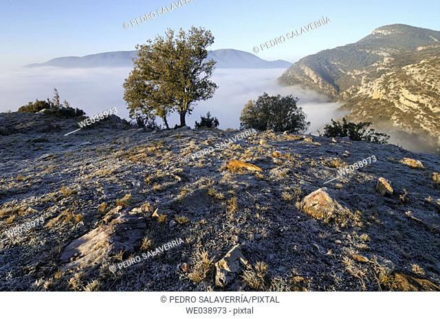 Sunrise with frost in Sierra del Montsec, oak (Quercus ilex). Vilanova de Meiá. Lleida province. Cataluña. Spain