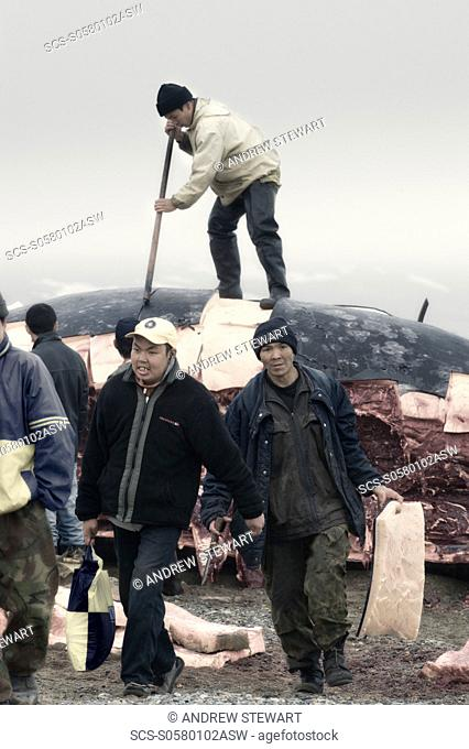 Inuit Settlement with locals and whale hunters, cutting large slabs of whale meat from a freshly caught Grey whale, Lorino Village Chukotskiy Peninsular Russia