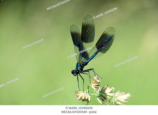 Banded Demoiselle, Calopteryx splendens, on blossom
