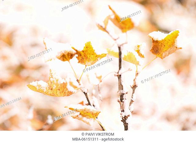Snow covered frozen bush branches, last autumn leaves