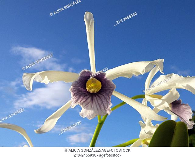 Orchid Laelia Purpurata Werkhauserie Close up, Caracas, Venezuela