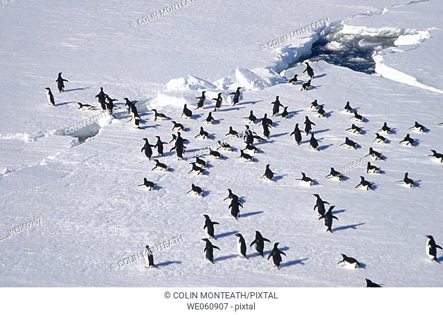 Adelie Penguins (Pygoscelis adeliae). March across ice floes. Dumont d'Urville. Antarctica