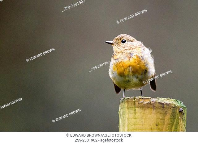 Robin (Erithacus rubecula) Scotland, UK