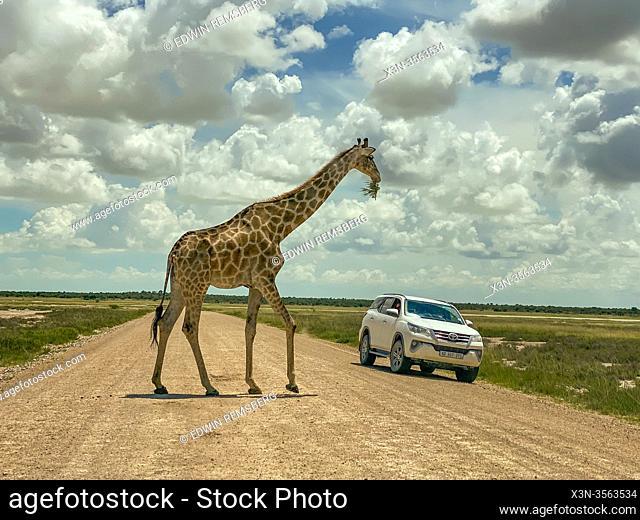 Giraffe (Giraffa) in Etosha National Park, Namibia