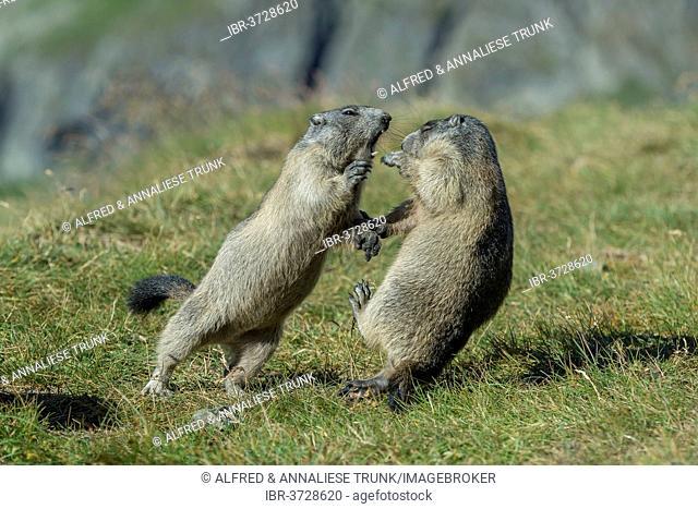 Alpine Marmots (Marmota marmota), cubs, playing, Salzburg State, Austria