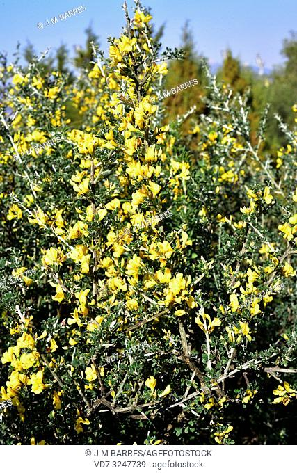 Hairy spiny broom or hairy thorny broom (Calicotome villosa) is a spiny shrub native to Mediterranean Basin. Flowering plant