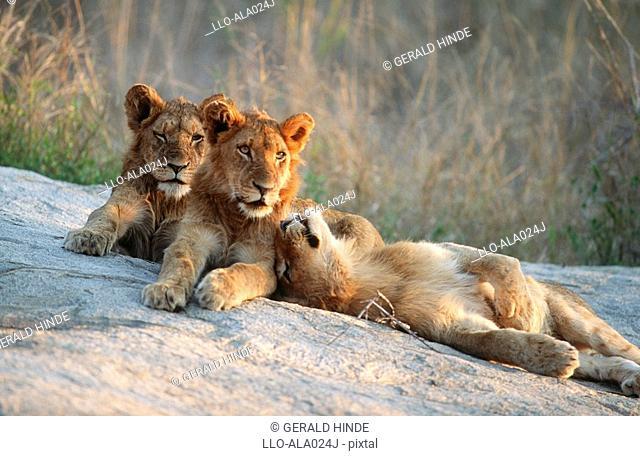 Three Lion Cubs Panthera leo Lying on a Rock  Mala Mala Private Reserve, Mpumalanga Province, South Africa