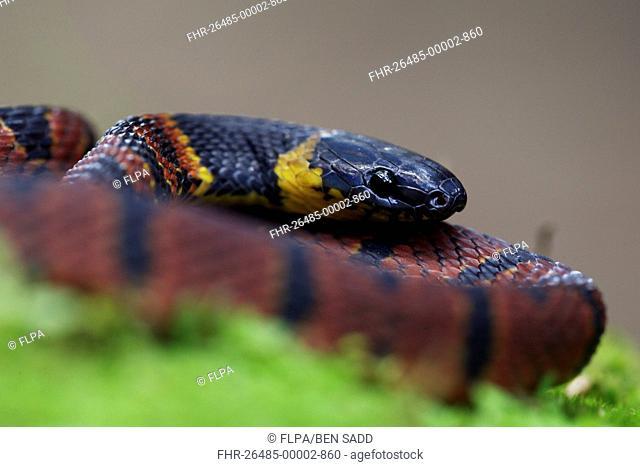 Red Coffee Snake (Ninia sebae) adult male, close-up of head, in cloudforest, Cusuco N.P., Sierra del Merendon, Honduras, July