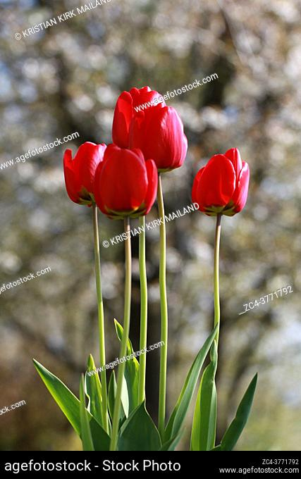 Spring flowers, tulips in early spring are a wonderful garden delight