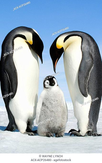 Adult emperor penguins Aptenodytes forsteri and chick, Snow Hill Island, Antarctic Peninsula
