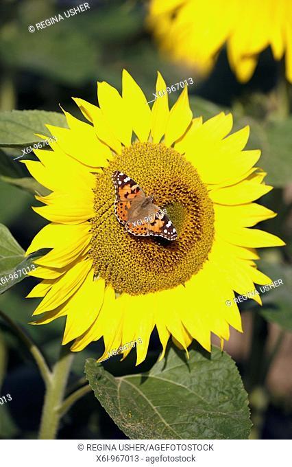 Painted Lady Vanessa cardui feeding on Sunflower Helianthus annuus, Germany