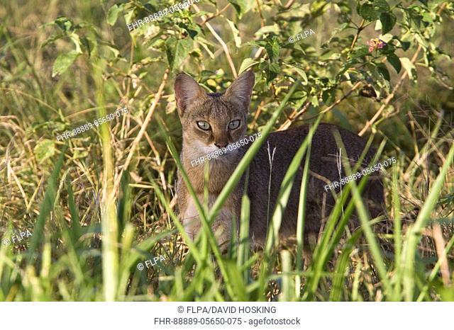 Jungle Cat - Sri Lanka