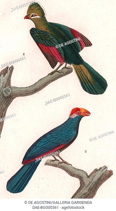 1 Knysna turaco (Tauraco corythaix), 2 Violet turaco (Musophaga violacea), colour copper engraving, retouched in watercolour, 9x15 cm