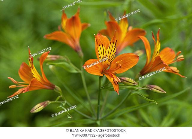 Alstroemeria, Peruvian Lily or Lily of the Incas