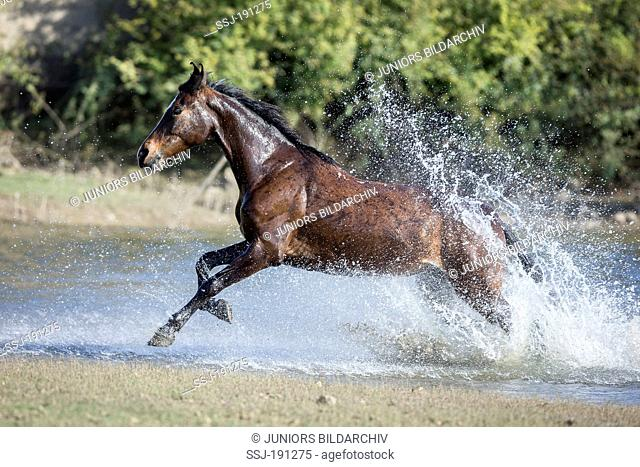 Kathiawari Horse. Bay mare galloping out from water. India