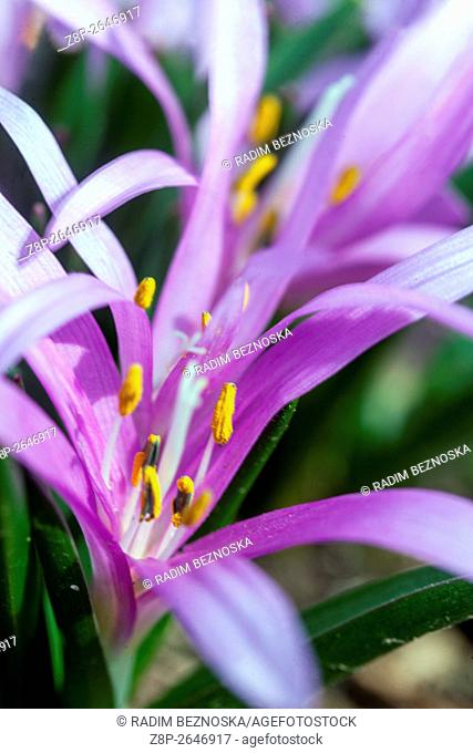 Colchicum bulbocodium, the Spring Meadow Saffron