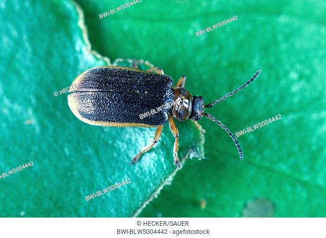 waterlily leaf beetle, waterlily beetle, pond-lily leaf-beetle Galerucella nymphaeae, imago