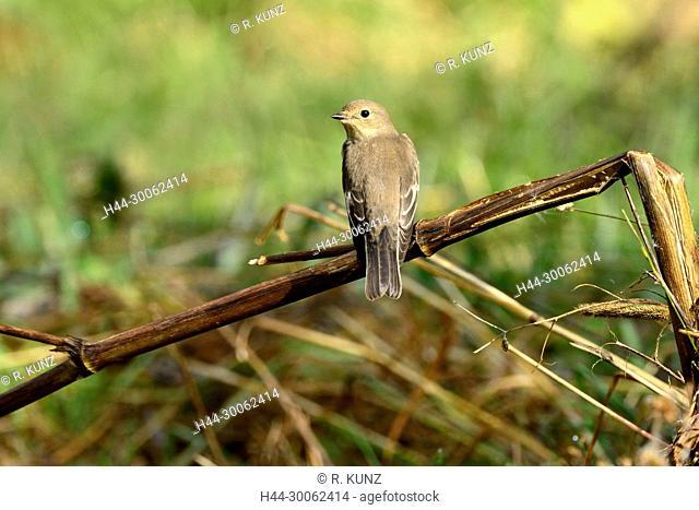 Eurpean Pied Flycatcher, Fidecula hypoleuca, Muscicapidae, Flycatcher, eclipse plumage, bird, animal, Geschinen, Obergoms, Canton of Valais, Switzerland