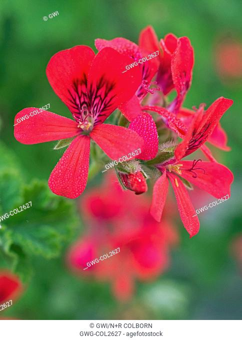 PELARGONIUM 'SCARLET PET'