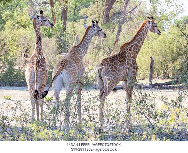 Botswana. Giraffe