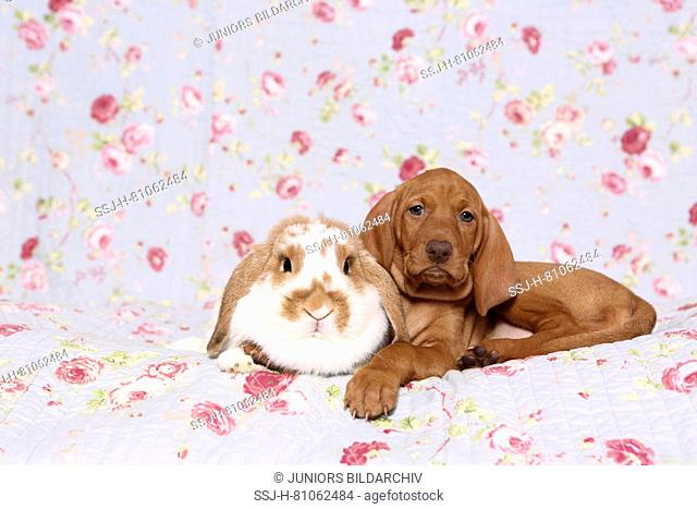 Vizsla. Puppy (6 weeks old) and dwarf lop-eared rabbit lying on a blue blanket with rose flower print. Germany