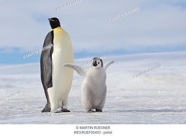 Antarctica, View of emperor penguin with young penguin