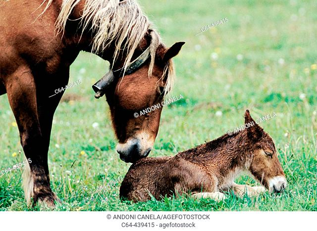 Mare and foal. Valle del Roncal. Navarra. Spain