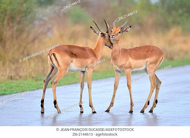 Impalas (Aepyceros melampus), on the tarred road, in the rain, Kruger National Park, South Africa, Africa