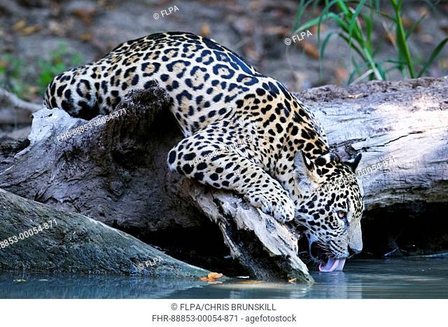 Jaguar (Panthera onca palustris) juvenile, drinking, Corixinho, Mato Grosso, Brazil, September