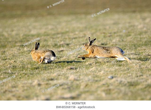 European hare, Brown hare (Lepus europaeus), adult animals chasing each other during the pairing time, Netherlands, Texel