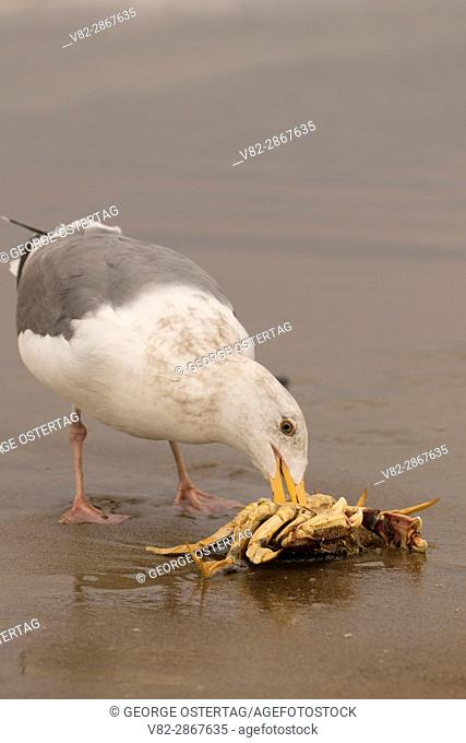 Gull with crab on beach, Siletz Bay Park, Lincoln City, Oregon