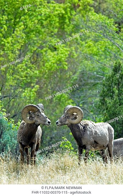 Desert Bighorn Sheep Ovis canadensis nelsoni two adult males, Dinosaur N M , Colorado, U S A