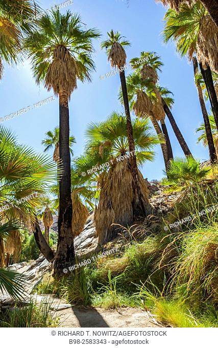 Palm Canyon on the Agua Caliente Cahuilla Indian Reservation. Palm Canyon is with Washingtonia filifera (California Fan Palm) which contrasts with the rocky...
