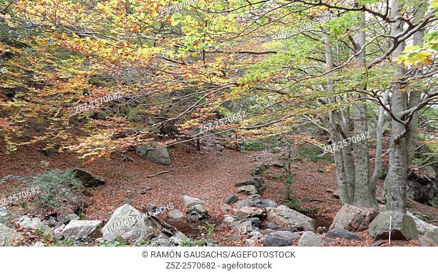 Autumn.Beech tree forest (Fagus sylvatica). Catalonia, Spain