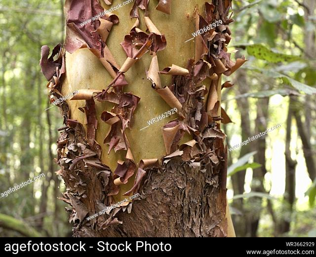 Spain, Bark of Madrono Canario in Canary Islands