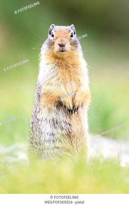 Canada, Alberta, Rocky Mountains, Jasper National Park, Banff Nationalpark, Columbian ground squirrel (Urocitellus columbianus) standing on a meadow